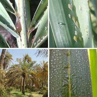 date palm diseases